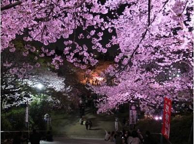 福岡 お花見,西公園
