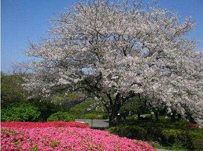 福岡 お花見,能古島