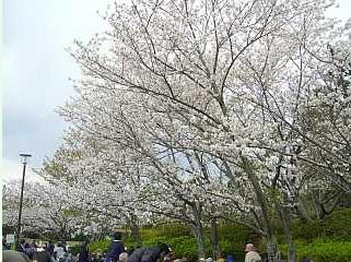 福岡 お花見,小戸公園