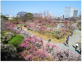 梅 開花,梅まつり,福岡 梅まつり