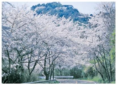 福岡 花見,福岡 桜 開花,福岡 桜 見ごろ